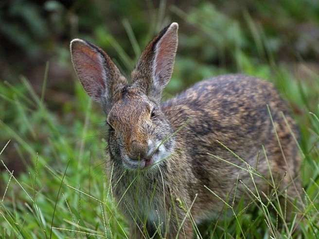 Plain Rabbit