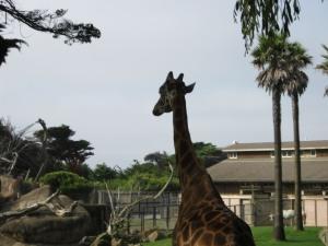 Giraffe Leaving