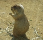 Prairie Dog Talking on cell